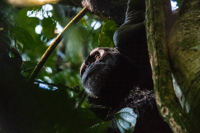 budongo forest chimpanzee
