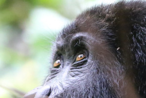 holidays gorilla