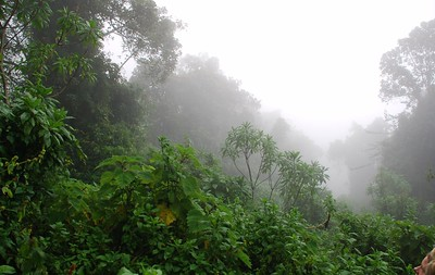 habituated mountain gorillas