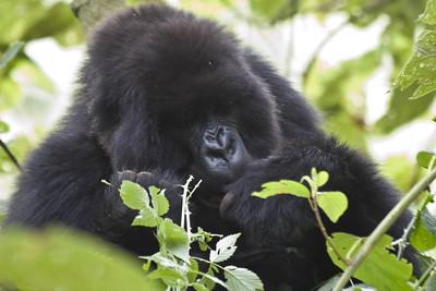 tracking gorillas
