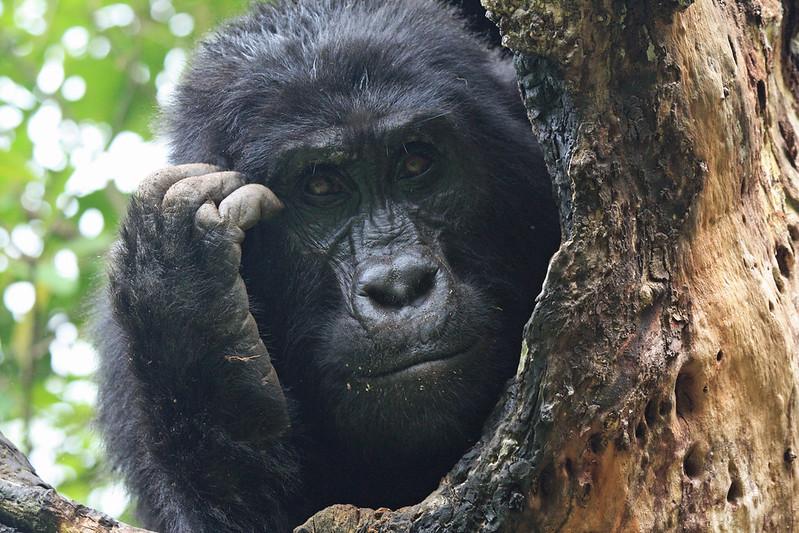 mountain gorilla, top activity for uganda safaris