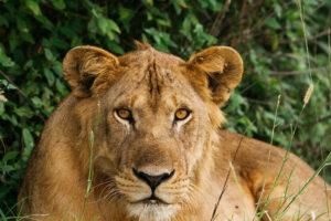 uganda safari lions