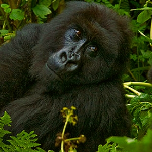 3 day gorillas in uganda