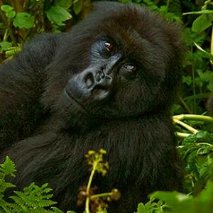 3 day gorillas in uganda