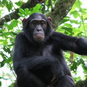 chimpanzee on 3 days uganda safari
