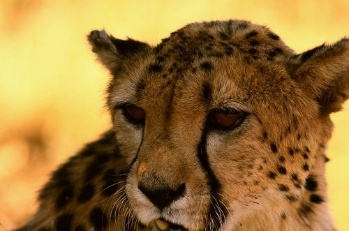 African safari cheetah