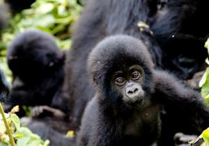 safari gorillas